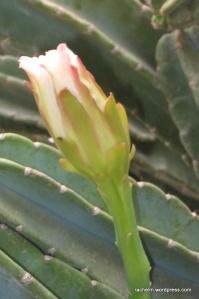 Photo of cactus bud